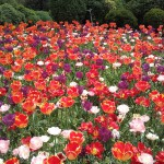 tulipani3