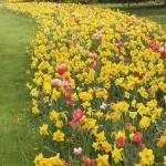 tulipani4